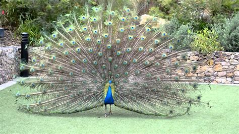 peacock with open feathers youtube