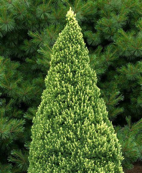 alberta spruce picea glauca rainbows end dwarf alberta spruce kigi nursery