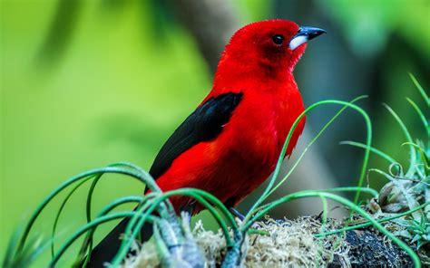 red bird wallpaper wallpapersafari
