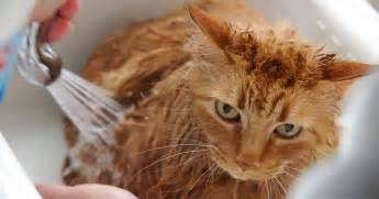 should cats be bathed how to bathe a cat why certain cats need regular baths
