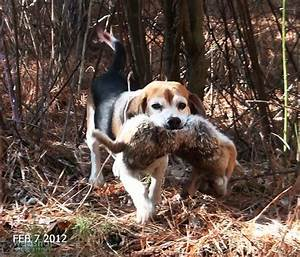 Skyview's Beagles Rabbit Hunt Quic Draw Don - YouTube