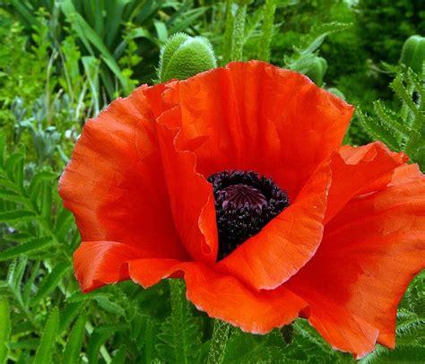 ต้นพอพพิ, ดอกไม้, ดอก, เบ่งบาน, สีแดง, ดอกไม้ดอกป๊อปปี้ ...