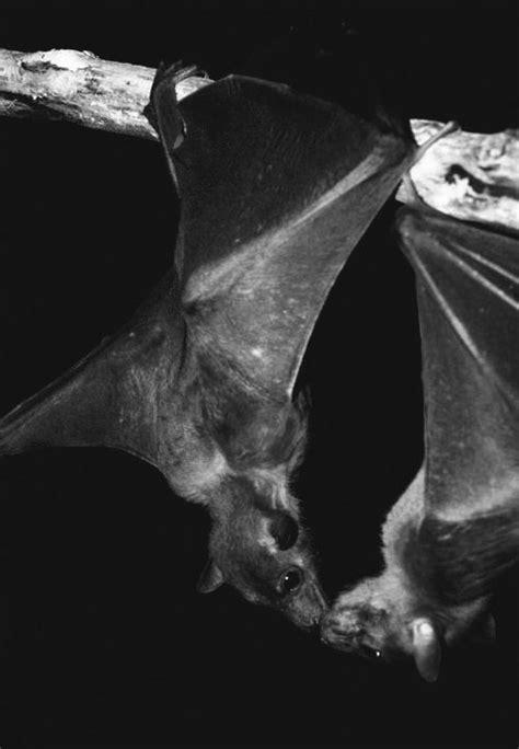 kissing bats pictures   images  facebook