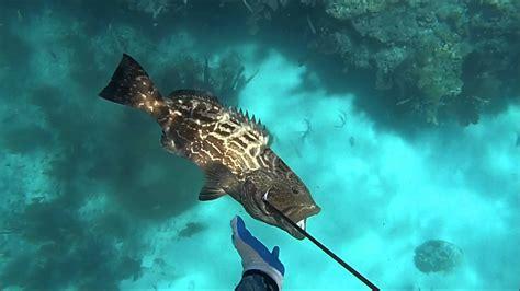 grouper snapper goliath spearfishing mangrove key west eats