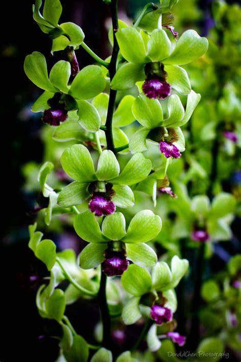 dendrobium orchid singapore flower  donald chen