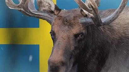 Swedish Swede Sweden Swedes Imgur Harass English