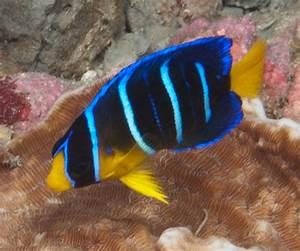 Juvenile Blue Angelfish (Holacanthus bermudensis) Images ...