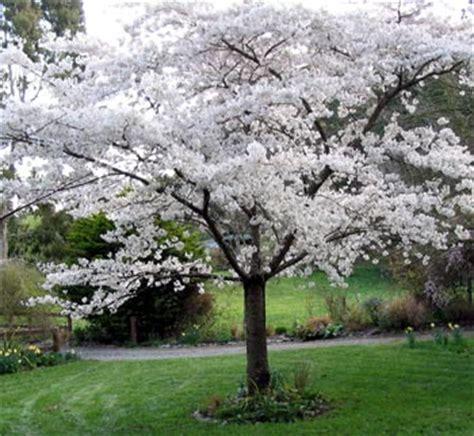 white flowering plum tree driveway garden