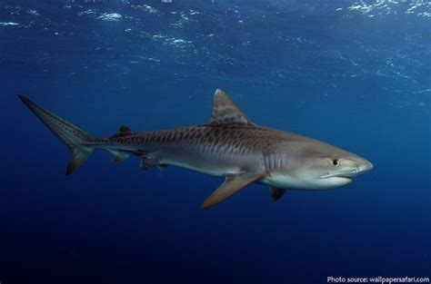 interesting facts  tiger sharks  fun facts