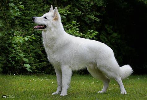 gallery swiss white shepherd male stud dog hd  ed