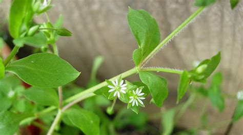 chickweed  equinest