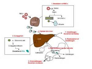 The diagram below details bilirubin metabolism: Bilirubin