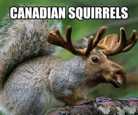 Canadian Moose Meme - canadian squirrel squirrels pinterest squirrel squirrel memes and funny animal