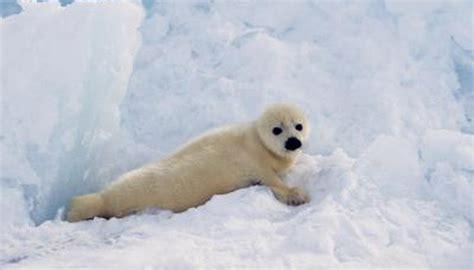 humans impact harp seals animals momme
