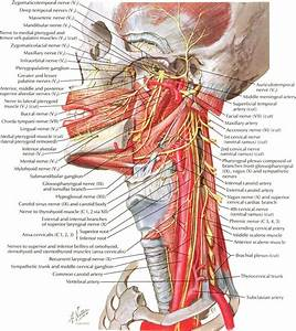 Female Neck Anatomy Anatomy Of Human Neck Anatomy Human