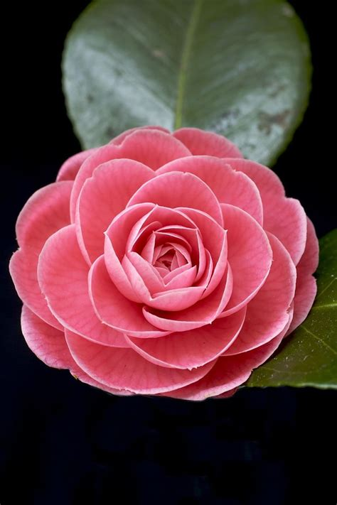 Images Of Beautiful Flowers Beautiful Flowers Photo 꽃 Camellia