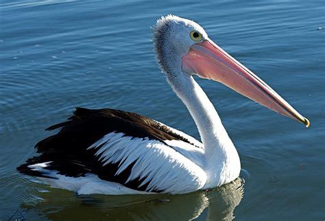 le de poche pelican le coeur du p 233 lican de c 233 cile coulon direction fiction