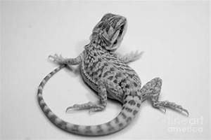 Baby Bearded Dragon Photograph by Angela DiPietro