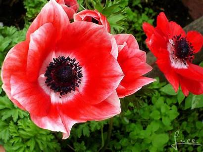 Anemone Flowers Cara Saluti Luisa Mia