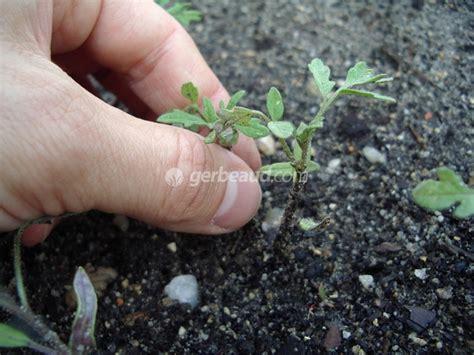 cuisine de a à z recettes eclaircir un semis trop serré