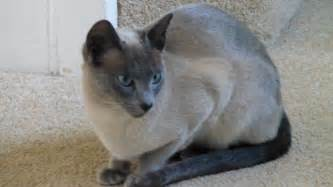 tonkinese cats tonkinese kittens tonkinese kittens for from our