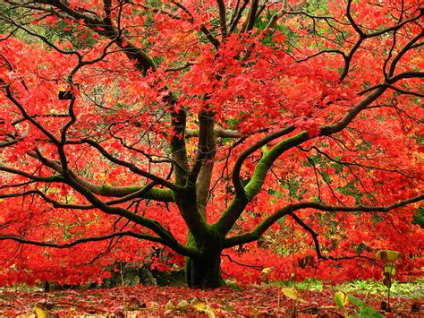 best maple trees for fall color red maple treeserviceofnashville com