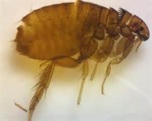cats fleas flea of one of my cats ctenocephalides felis