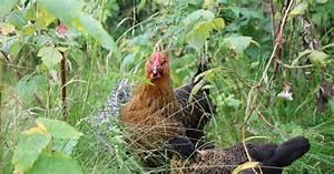 Hühnerhaltung Im Wohngebiet : h hnerhaltung im eigenen garten ~ Eleganceandgraceweddings.com Haus und Dekorationen