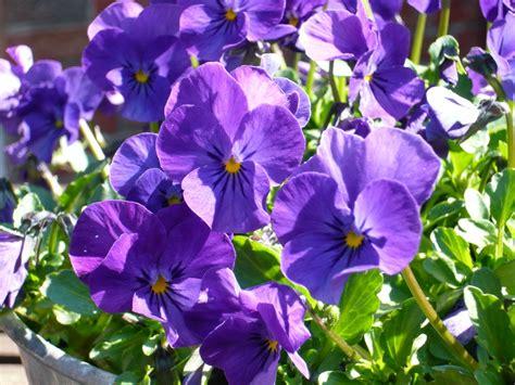 Lila Pilze Im Garten by Lila Blumen Foto Bild Pflanzen Pilze Flechten