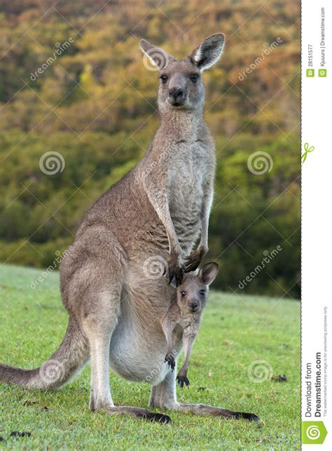 Joey Baby Kangaroo Pouch