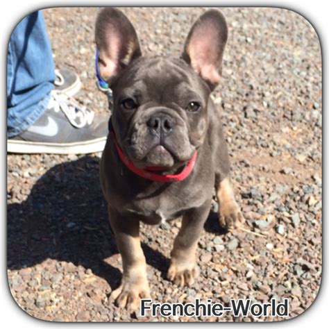 frenchie colors bulldog frenchie blue and color frog