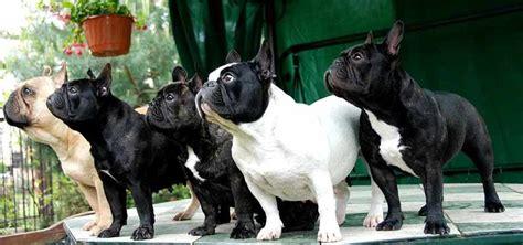 french bulldog dog breed standards