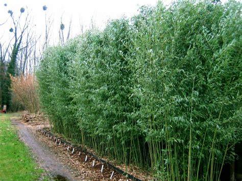 bambous en pot