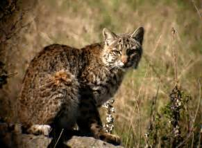 bob cat bobcat seized from residence in arizona guam officials