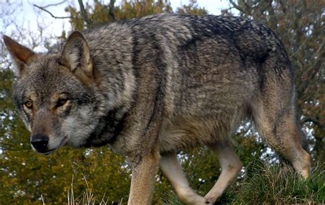 The chernobyl disaster was a nuclear accident that occurred on 26 april 1986, at the chernobyl nuclear power plant in the ukrainian soviet socialist republic. Chernobyl wolf, wolf size, hunting, giant wolves in ...