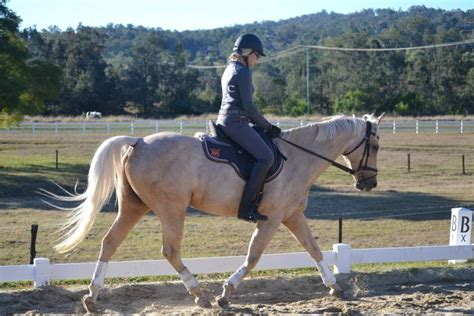 dressage mare quarter horse horsezone