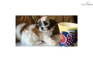 pictures of teacup puppys non shedding for sale az dog
