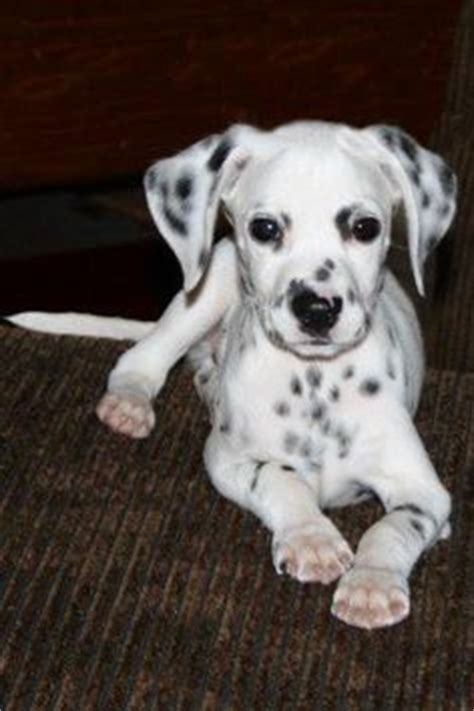 Images About Mini Dalmatian I Want One On Pinterest Miniature Dalmatian Dalmatians