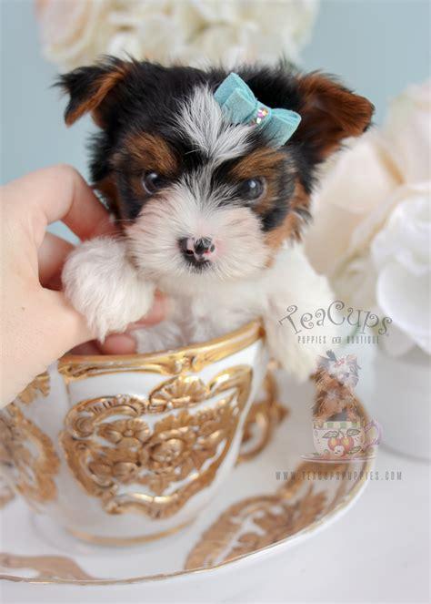 biewer terriers  sale  teacups teacups puppies