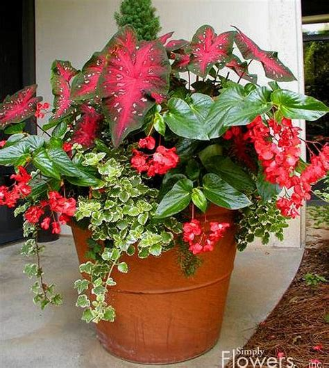 planting begonia tubers in pots 173 best images about begonias begonias begonias on gardens sun and shade plants