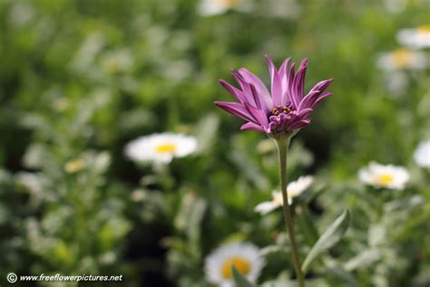 picture flower african daisy picture flower pictures 6045