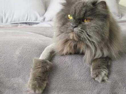What Is The Purpose Of Shaving Persian Cats? Quora