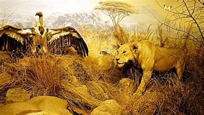Lion Safari African Desktop Animal Wallpapers Background