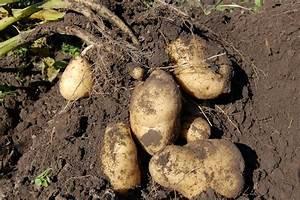 6 Different Methods Of Growing Potatoes In Your Backyard