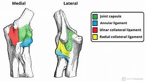 The Elbow Joint - Structure - Movement