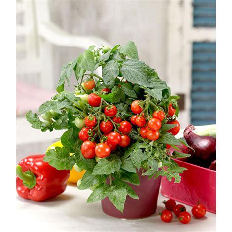 Windowsill Tomatoes by Tomato Windowsill Ponchi Re 1 P12 Tomato Plants