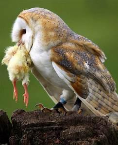 » 3.4 Extension…Owl pellets Mrs. Carlson's 4th grade class ...