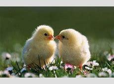 노랑 병아리
