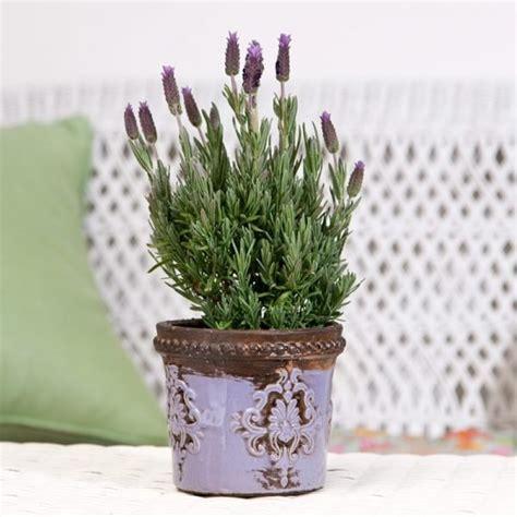 planting lavender  pots  piece
