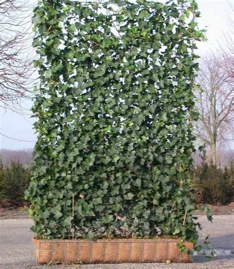 immergrüne bepflanzungen am gartenzaun hecke am laufenden meter quelle pflanzmich de garten